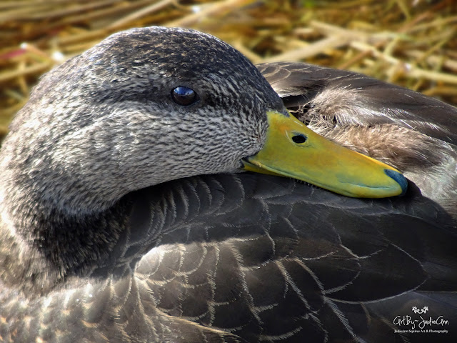 Male American Black Duck