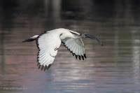 Sacred Ibis Birds In Flight Photography Cape Town with Canon EOS 7D Mark II  Copyright Vernon Chalmers