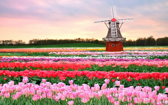 Keukenhof park, Beautiful Flower Garden at Netherlands,  keukenhof tulip gardens