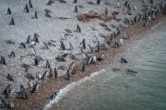 Penguins, Punta Tombo, Argentina