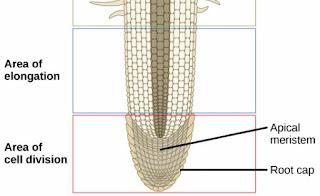 Ilustrasi perbedaan bentuk sel di berbagai zona pada akar