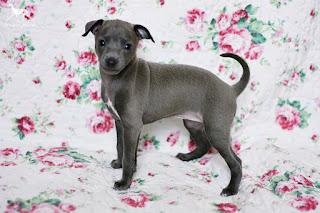 Italian Greyhound puppy