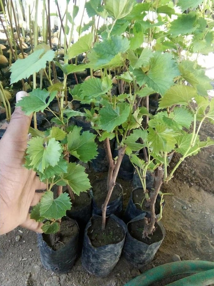 bibit buah anggur Palangkaraya