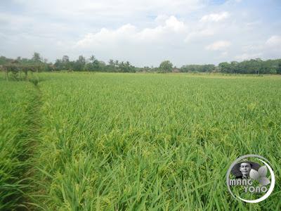 FOTO 3 : Hamparan tanaman padi ketan di Bakan Bandung, dusun Gardu, Bendungan, Pagaden Barat, Subang .. Minggu 14 Agustus 2016