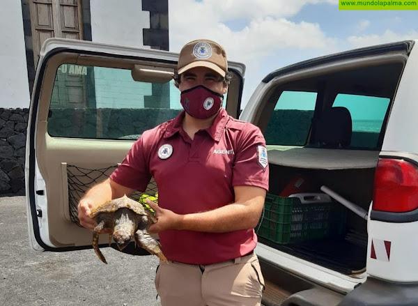 Bañistas rescatan en Fuencaliente a una tortuga en mal estado que se recupera en el Centro de Rehabilitación de Fauna