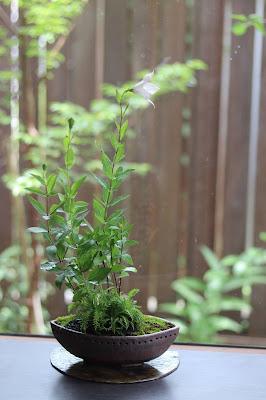 舟形の鉢に入った薄ピンクのキキョウと葉が綺麗なシュムシュノコギリソウ、ノコンギクの山野草盆栽
