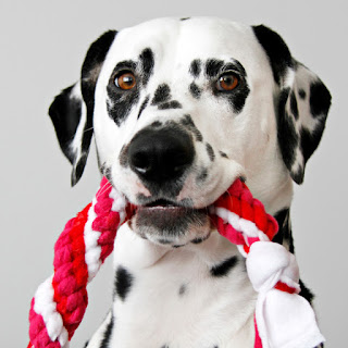 Dalmatian dog with homemade spiral fleece tug toy