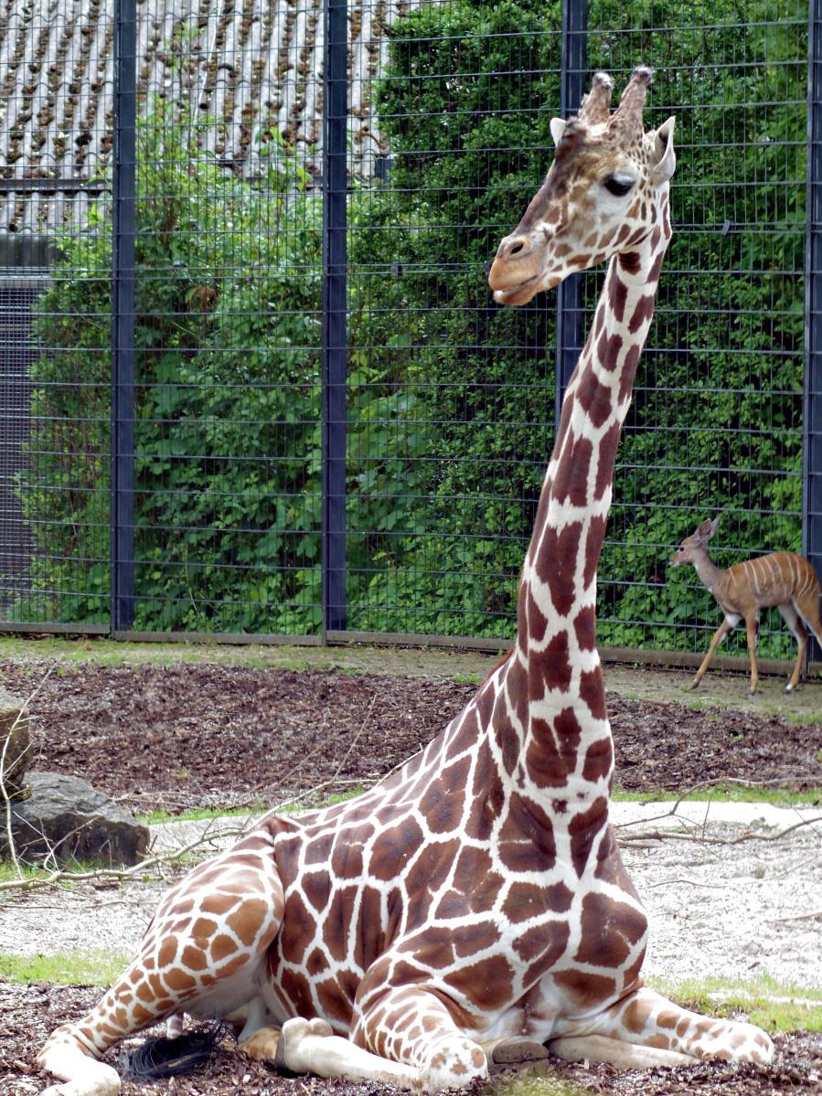Ob stehend oder sitzend, die Giraffe behält immer den Überblick