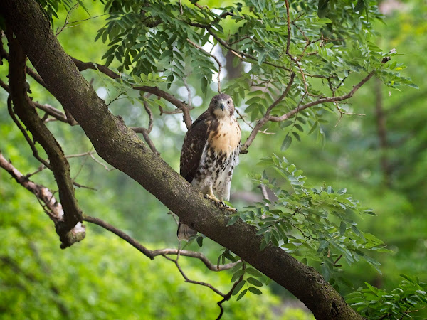 Tompkins Square red-tail fledgling 20