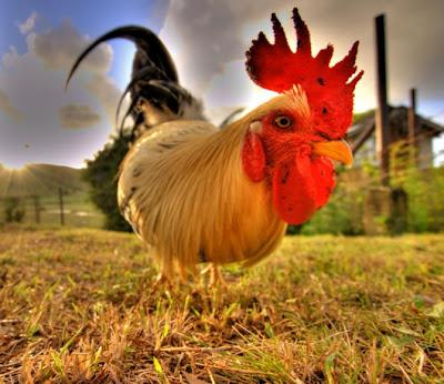 Increíble fotografía HRD gallo