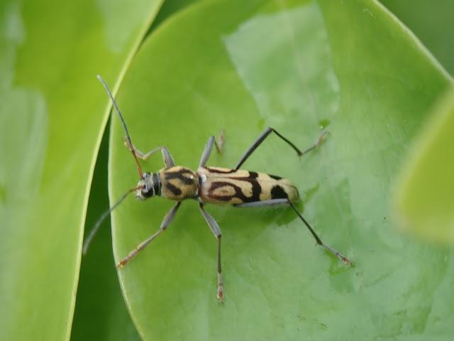 Chlorophorus annularis