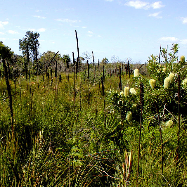 Coastal heath, Iluka, NSW, Australia. Photo by Loire Valley Time Travel.
