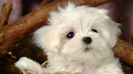 Cute Puppy wallpaper,dog hd image