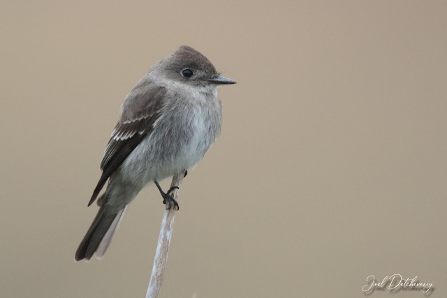 Wood Pewee Identification