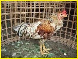 ayam sakit kuning