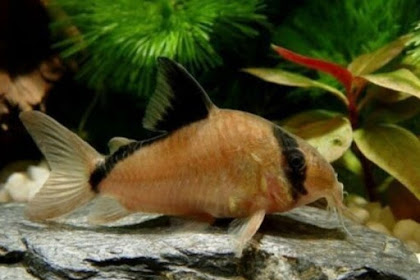 Jenis Ikan Lele Hias Air Tawar Yang Unik