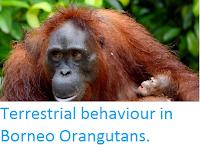 http://sciencythoughts.blogspot.co.uk/2015/03/terrestrial-behaviour-in-borneo.html