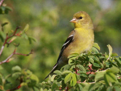 Photo of female American Goldfinch in breeding plumage on a wild rose bush