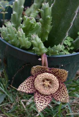 Starfish_Cactus%252C_Toad_Cactus_%2528Or