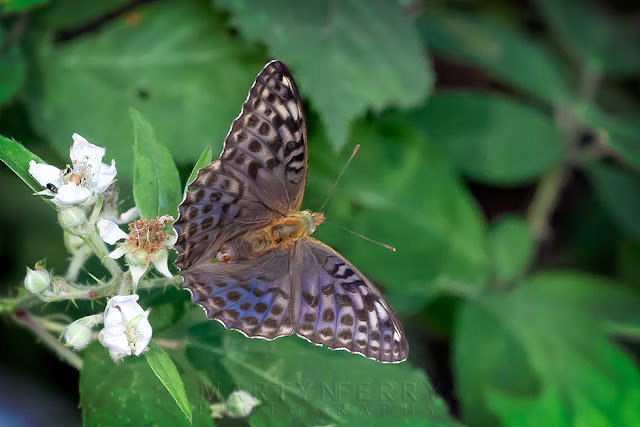 Macro image of a female silver-washed fritillary valesina at Holme Fen Nature Reserve