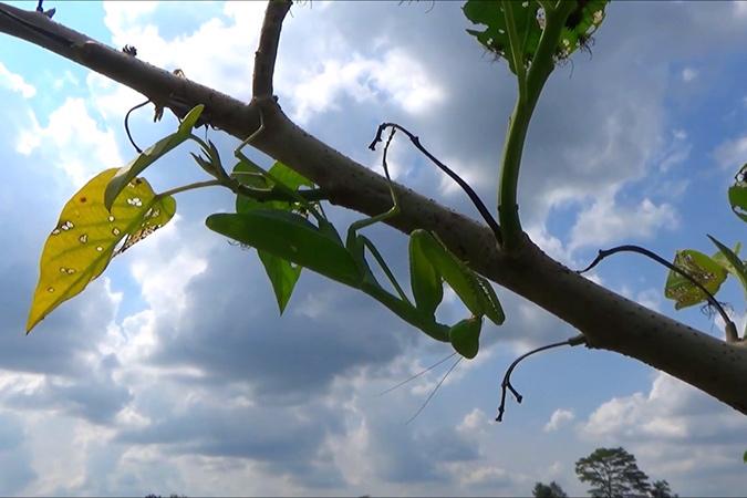 Dlium Giant Asian mantis (Hierodula patellifera)