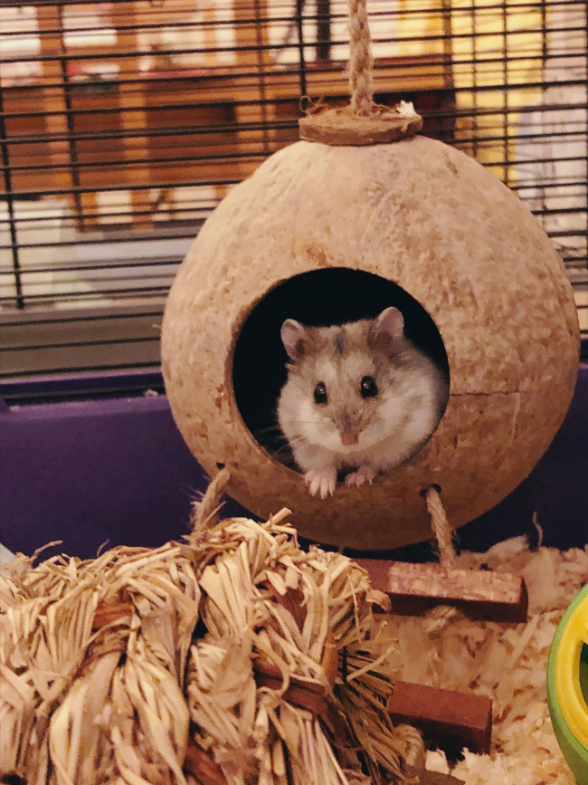 Grey and white dwarf hamster in a hollowed out hanging coconut house