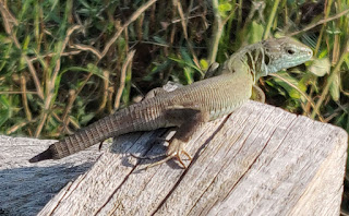 Lizard that lost its tail, but got away