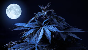 A blue cannabis plant in the foreground with a full moon in the background.