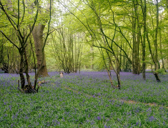 The bluebells in Langley Wood