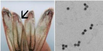 Penyakit Virus Pada Ikan : Taura Syndrome Virus (TSV)