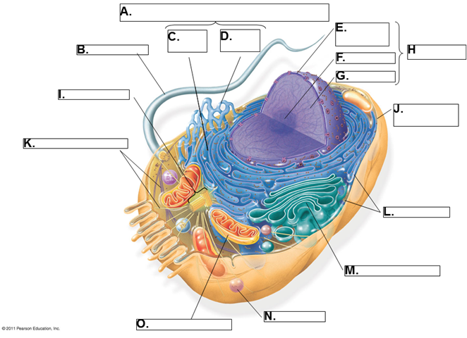 Labelled Diagram Of A Eukaryotic Cell