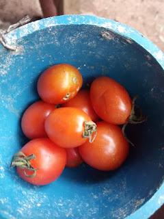 Lima manfaat pemberian tomat pada ayam aduan