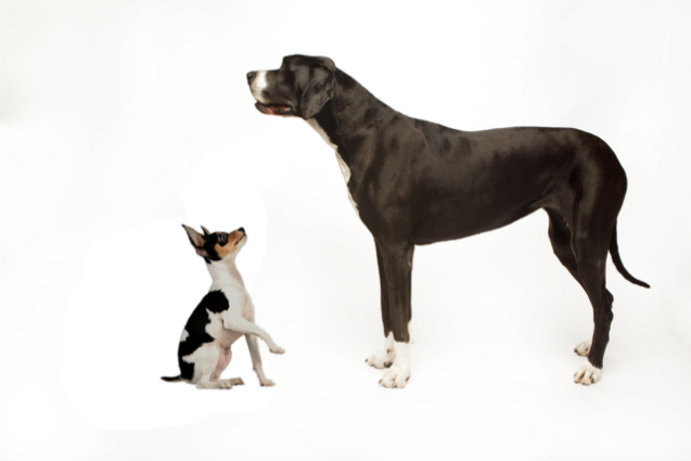 small-big-dogs-caes-vivem-mais