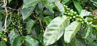 Kawa Daun, Minuman Khas Sumatera Barat Yang Kaya Manfaat