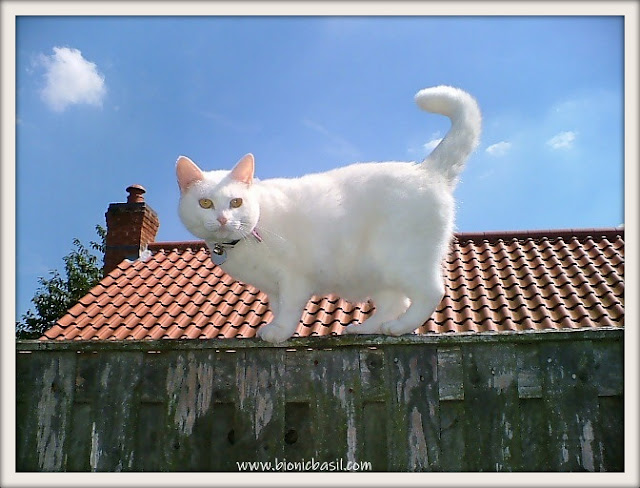 white cat on a fence, beautiful white cat, white cat,
