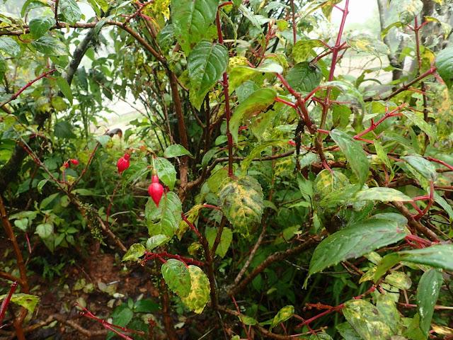 Fuchsia sp