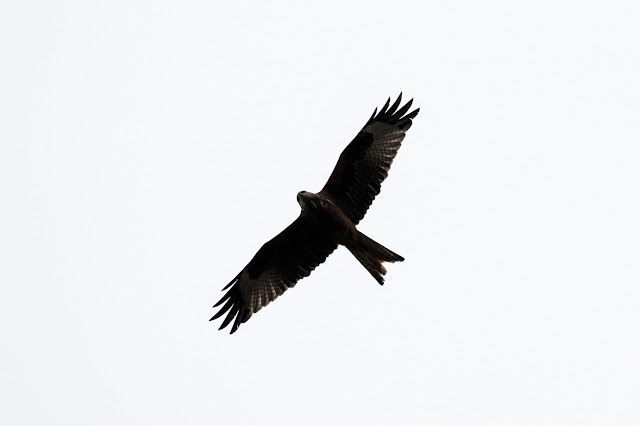 Red Kite over the sheep Fields