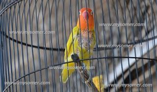 PENELITI LOVEBIRD JABUT BULU, FAKTA LOVEBIRD CIAK BULU