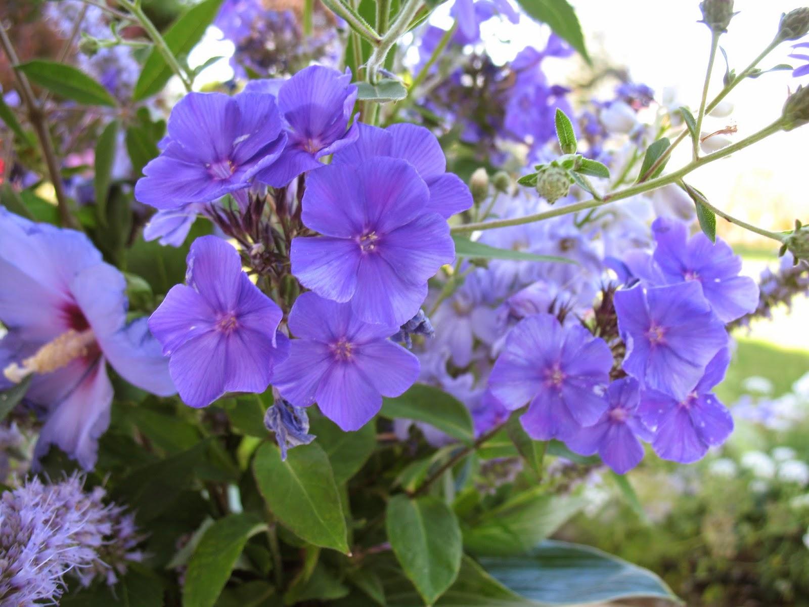 Roses du jardin ch neland fleurs bleues estivales - Arbuste a fleurs bleues ...