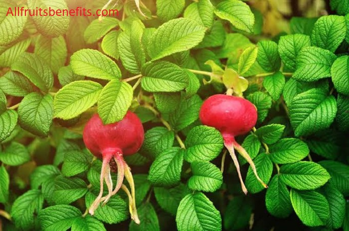 rosehip benefits,using rosehip oil on face,rosehip oil uses for skin,rosehip oil anti aging,rosehip essential oil uses,rosehip tablets uses,uses of rosehip oil on face,rosehip leaves,uses of rosehip oil for face,rosehip weight loss,uses of rosehip oil for skin,rosehip oil for glowing skin,dr axe rosehip oil,rosehip oil good for hair,rosehip anti aging,applying rosehip oil to face,rosehip oil good for skin,rosehip good for skin,rosehip oil good for fac,rosehip for weight loss,rosehip anti aging body oil,rosehip oil good for stretch marks,using rosehip oil for face,rosehip blood pressure,rosehip anti aging beauty oil,rosehip and hibiscus tea weight loss,rosehip tea blood pressure,rosehip and hibiscus tea for skin,rosehip oil hydrating,rosehip tea good for