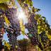 Vigilância intercepta 140 toneladas de uvas passas contaminadas
