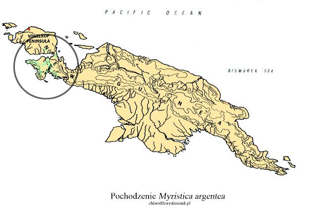 Gałka muszkatołowa Myristica argentea gałka papuaska Fakfak długa gałka przyprawy skąd pochodzi alternatywa pala papua muszkatołowiec srebrzysty long nutmeg w chinach dziwne przyprawy azjatyckie