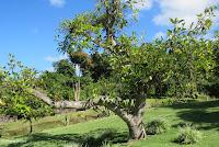 Avocado tree - Greenwell Coffee Farms, Big Island, HI