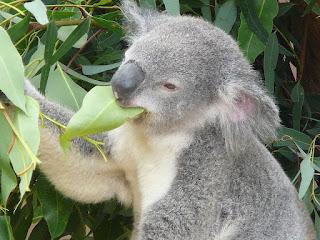 Makanan Koala