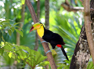 Keel-billed Toucan 15