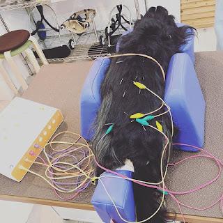 suporte de acupuntura para cães