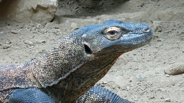17 Interesting Komodo Dragons Facts