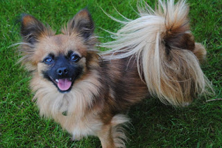 Papillon Pomeranian Mix Temperament, Size, Lifespan, Adoption, Price