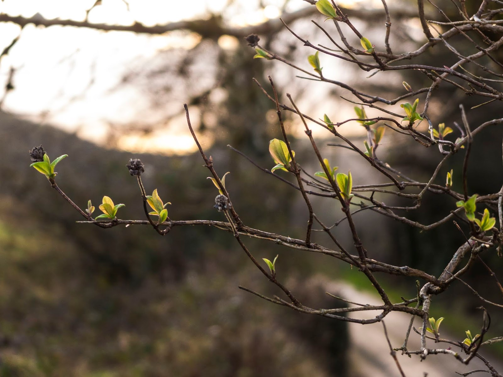 Little leaves emerging on a tree at sunset.