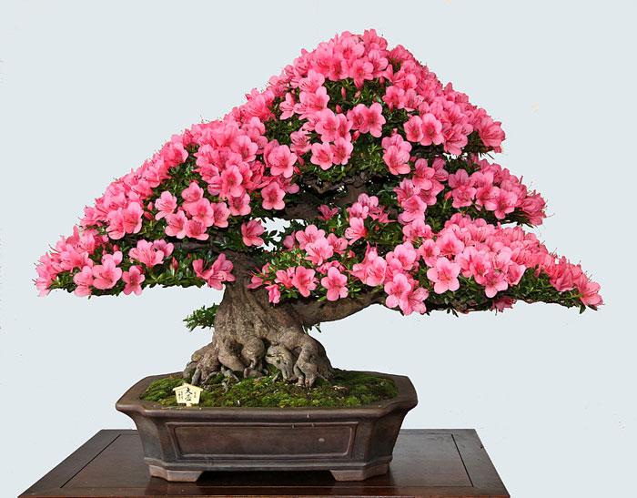 Satsuki Azalea Bonsai Tree Care Bonsai Tree
